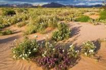 deserto florescera1