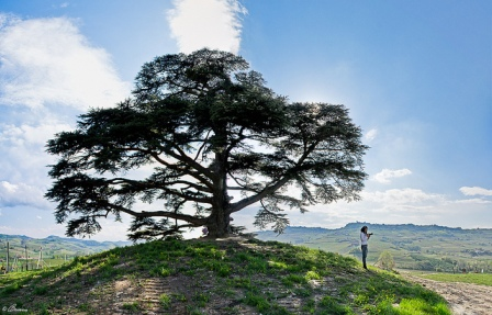 Cedro-de-líbano